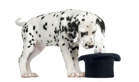 Dalmatian puppy looking at a rabbit in top hat Royalty Free Stock Photo
