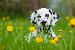 Dalmatian puppy. Lying in a dandelion meadow royalty free stock images