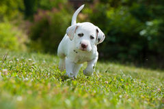 Dalmatian puppy. In a meadow royalty free stock photography