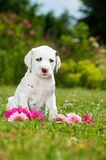 Dalmatian puppy Stock Photography