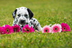 Dalmatian puppy Royalty Free Stock Image