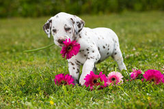 Dalmatian puppy. In a meadow stock photography