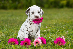 Dalmatian puppy. In a meadow royalty free stock image