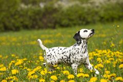 Dalmatian puppy in the meadow with flowers Stock Photography