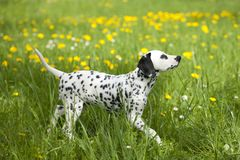 Dalmatian puppy in the meadow with flowers Stock Photo