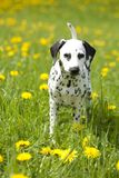 Dalmatian puppy in the meadow with flowers Royalty Free Stock Images