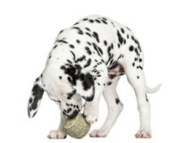 Dalmatian puppy playing with a tennis ball, isolated Stock Images