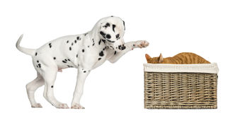 Dalmatian Puppy Playing With A Cat Stock Photo