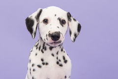 Dalmatian puppy portrait on purple Royalty Free Stock Photo