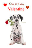 Dalmatian puppy with a red rose and You are my Valentine text. Dalmatian puppy dog holding a red rose in his mouth facing the camera on a white background with royalty free stock images