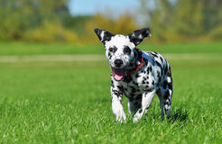 Dalmatian puppy running across the field Stock Images