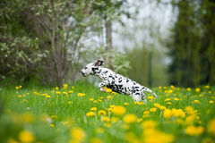 Dalmatian puppy Royalty Free Stock Photo