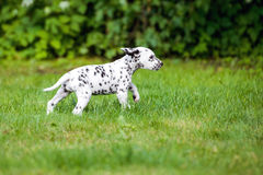 Dalmatian puppy running on grass Royalty Free Stock Image