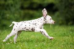 Dalmatian puppy running on grass Stock Images