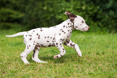 Dalmatian puppy running on grass Royalty Free Stock Images