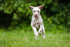 Dalmatian puppy running on grass Stock Image