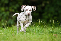 Dalmatian puppy running on grass Stock Photography