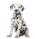 Dalmatian puppy sitting Royalty Free Stock Image
