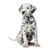Dalmatian puppy sitting Stock Photography