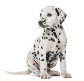 Dalmatian puppy sitting Royalty Free Stock Photo