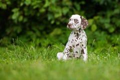 Dalmatian puppy sitting on grass Royalty Free Stock Photos