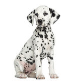 Dalmatian puppy sitting, isolated. On white royalty free stock photos