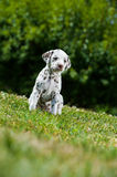 Dalmatian puppy Royalty Free Stock Photography