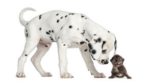Dalmatian puppy sniffing a kitten meowing. Side view of a Dalmatian puppy sniffing a kitten meowing, isolated on white royalty free stock images