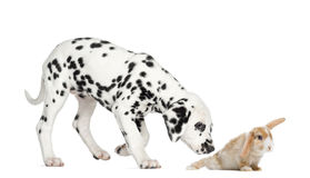 Dalmatian puppy sniffing a rabbit Stock Photography