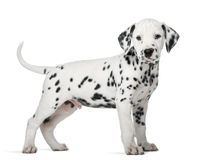 Dalmatian puppy standing. In front of a white background Stock Images