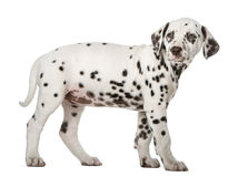 Dalmatian puppy standing Stock Photo