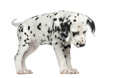 Dalmatian puppy standing, looking down, isolated. On white Royalty Free Stock Photography