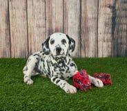 Dalmatian Puppy Royalty Free Stock Photography