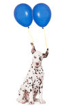 Dalmatian puppy with two balloons Royalty Free Stock Photos