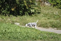 Dalmatian Puppy on a walk royalty free stock image