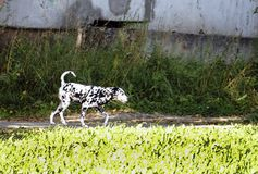 Dalmatian puppy walking down the street royalty free stock photography