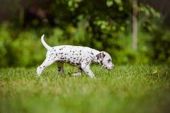 Dalmatian puppy walking on grass Stock Photo