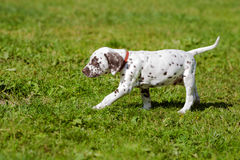 Dalmatian puppy walking on grass Stock Photography