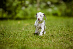 Dalmatian puppy walking on grass Royalty Free Stock Image