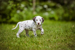 Dalmatian puppy walking on grass Royalty Free Stock Images