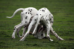 Dalmatian pups Stock Images