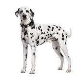 Dalmatian que está na frente do fundo branco Fotografia de Stock