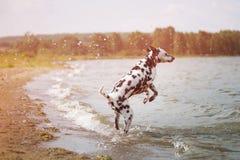 Dalmatian que juega en el lago Fotografía de archivo