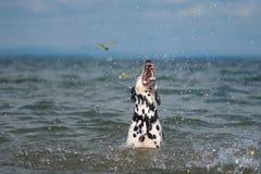 Dalmatian que juega en el lago Imágenes de archivo libres de regalías