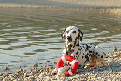Dalmatian que miente en la playa con su juguete Imágenes de archivo libres de regalías