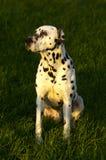 Dalmatian que senta-se na grama   fotos de stock royalty free
