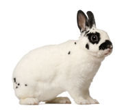 Dalmatian rabbit, Oryctolagus cuniculus, 4 Royalty Free Stock Photos