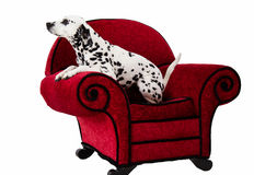 Dalmatian on Red Chair Royalty Free Stock Photo