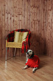 Dalmatian in a red sweater in the autumn interior. Lies near the chair Royalty Free Stock Photography