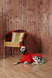 Dalmatian in a red sweater in the autumn interior. Lies near the chair Stock Photos